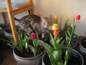 the cat tiptoeing through the tulips last year.